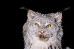 Canadian Lynx. A taxidermy mount of a Lynx Canadensis over black Royalty Free Stock Image