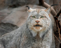 Canadian lynx Royalty Free Stock Photo