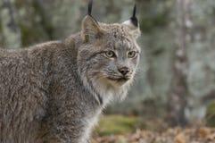 Canadian lynx. Telephoto shot of a Canadian lynx Royalty Free Stock Photo