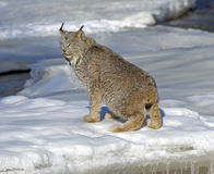 Canadian Lynx. On frozen river in Northern Minnesota Stock Photo