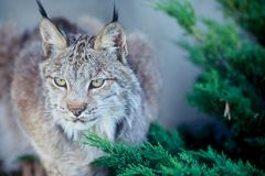 Canadian lynx. Taken in massey ontario Stock Photography