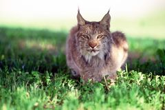 Canadian lynx. Taken in massey Royalty Free Stock Image