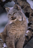 Canadian Lynx. A canadian lynx sitting with snow on its head Stock Photo