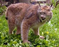 Canadian lynx. Wild Canadian lynx, Lynx canadensis Stock Photography