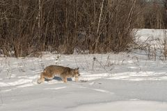 Canadian Lynx Lynx canadensis Stalks Right. Captive animal Stock Image