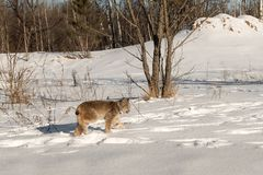 Canadian Lynx Lynx canadensis Walks Right Licking Nose. Captive animal Stock Photo