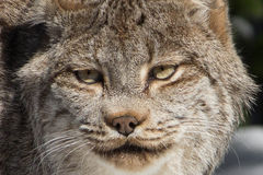 Canadian Lynx. A close-up of a Canadian lynx  at the Queens Zoo NY Royalty Free Stock Photo