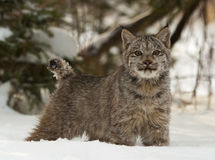 Canadian lynx in deep snow with pine trees behind Royalty Free Stock Image
