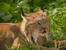 Canadian lynx. The head of the lynx of the canadian Stock Photography