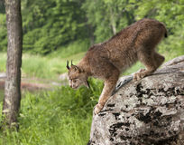 Canadian Lynx Jumping from Rock Royalty Free Stock Image