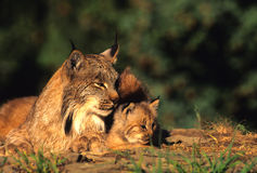 Canadian Lynx With Kitten. A female canadian lynx laying down with its kitten Royalty Free Stock Image