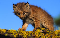 Canadian Lynx Kitten. A canadian lynx kitten standing on a moss covered log Stock Images