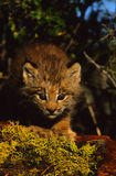 Canadian Lynx Kitten. A canadian lynx kitten staring head on on a moos covered log Royalty Free Stock Photos