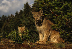 Canadian Lynx With Kitten. A canadian lynx sits on the edge of the forest with her kitten Stock Photos