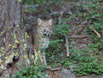 Canadian Lynx. Looking out from behind tree Royalty Free Stock Photos