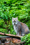 Canadian Lynx Looking Up Stock Photos