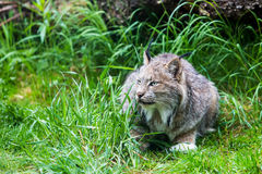 Canadian Lynx in Low Grass Royalty Free Stock Image