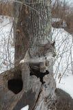 Canadian Lynx Lynx canadensis Balances on Log. Captive animal Stock Images