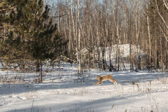 Canadian Lynx Lynx canadensis Bounds Left Through Snow Stock Image