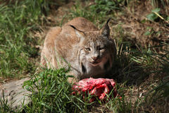 Canadian lynx (Lynx canadensis canadensis). Royalty Free Stock Images