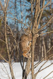 Canadian Lynx Lynx canadensis Climbs Up Tree Royalty Free Stock Photo