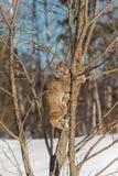 Canadian Lynx Lynx canadensis Climbs Up Tree. Captive animal Royalty Free Stock Photo