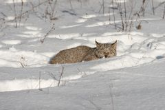 Canadian Lynx Lynx canadensis Crouches in Snow. Captive animal Stock Photography