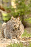 Canadian Lynx (Lynx canadensis) crouching. A crouching Canadian Lynx (Lynx canadensis) with prominent ear tufts. 12MP camera, taken at a game farm. Focus = the Stock Image