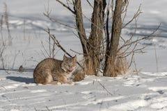 Canadian Lynx Lynx canadensis Licks Nose. Captive animal Stock Photography