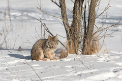 Canadian Lynx Lynx canadensis Licks Nose Next to Tree. Captive animal Royalty Free Stock Photography