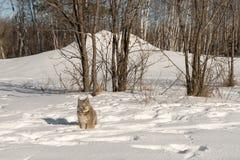 Canadian Lynx Lynx canadensis Looks Forward Near Trees. Captive animal Royalty Free Stock Image