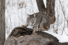 Canadian Lynx Lynx canadensis Looks Out From Atop Log. Captive animal Royalty Free Stock Photography