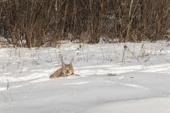 Canadian Lynx Lynx canadensis Looks Out From Snow. Captive animal Royalty Free Stock Photos