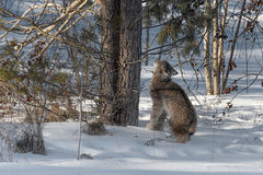 Canadian Lynx Lynx canadensis Looks Up Tree Trunks. Captive animal Royalty Free Stock Image