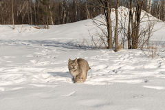 Canadian Lynx Lynx canadensis Moves Forward Through Snow. Captive animal Royalty Free Stock Images