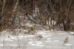 Canadian Lynx Lynx canadensis Prepares to Pounce. Captive animal Royalty Free Stock Photography