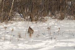 Canadian Lynx Lynx canadensis Runs Forward Royalty Free Stock Photography
