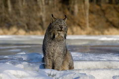 Canadian lynx, Lynx canadensis Stock Image