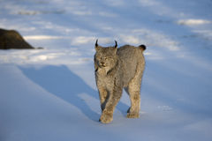 Canadian lynx, Lynx canadensis. Single cat in snow Royalty Free Stock Photos