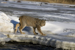 Canadian lynx, Lynx canadensis Stock Images