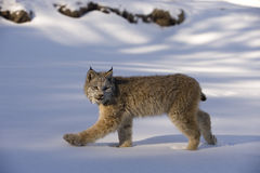 Canadian lynx, Lynx canadensis. Single cat in snow Royalty Free Stock Photo