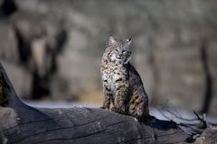 Canadian lynx, Lynx canadensis Stock Photos