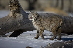 Canadian lynx, Lynx canadensis Royalty Free Stock Photography
