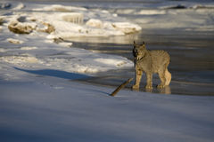 Canadian lynx, Lynx canadensis Stock Photo