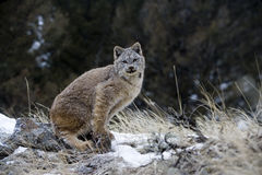 Canadian lynx, Lynx canadensis. Single cat in snow Royalty Free Stock Images