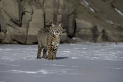 Canadian lynx, Lynx canadensis Stock Photography