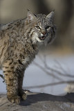 Canadian lynx, Lynx canadensis Royalty Free Stock Photos