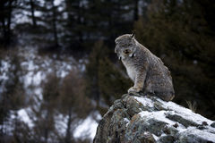 Canadian lynx, Lynx canadensis Royalty Free Stock Images