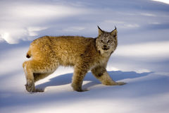 Canadian lynx, Lynx canadensis Royalty Free Stock Image