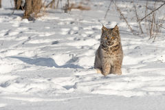 Canadian Lynx Lynx canadensis Sits in the Snow Royalty Free Stock Images